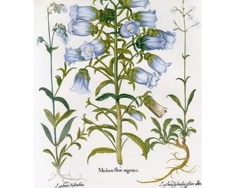 Besler Florilegium Bell Flowers Print Book Plate SALE~~Buy 3, get 1 free