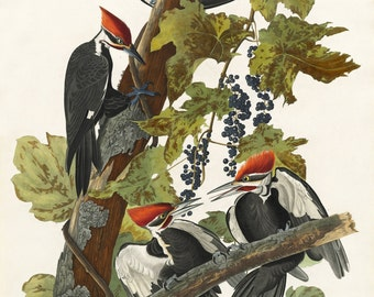 John James Audubon Reproductions - Pileated Woodpecker, 1831. Fine Art Print.