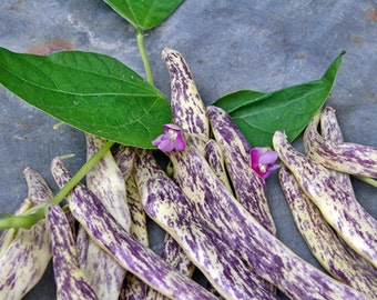 Dragon Tongue Heirloom Bush Bean Seeds Naturally Grown Open Pollinated