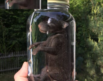 Stillborn Silver Fox in a Jar - Preserved Wet Specimen Taxidermy