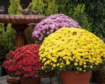 PBCHR) GARDEN MUM Mix Chrysanthemum~Seed!!~~~~~~~Lots of Fall Color!