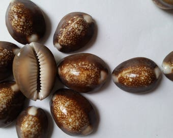 10 Large Cowrie Shells