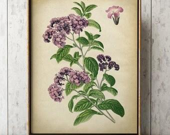 Botanical poster, botanical print, botanical chart study poster, flower art, botanical art, flower print, Heliotrope flowers, floral drawing