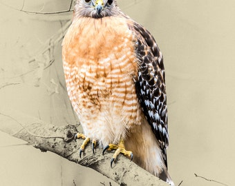 Red-Shouldered Hawk - Limited Edition