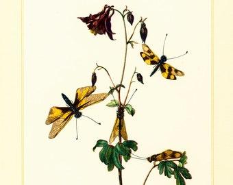 1960 Vintage Owlfly Dragonfly Print. Damselflies. Neuropterans Illustration. Insect. Entomology. Natural History.