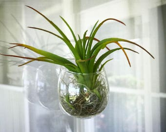 Suction Cup Air Plant Holder