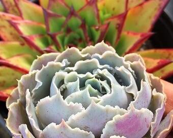 Echeveria Shaviana Pink Frills/Succulent plant/succulents/indoor plant/Succulent garden/succulent arrangement/live plants/cactus