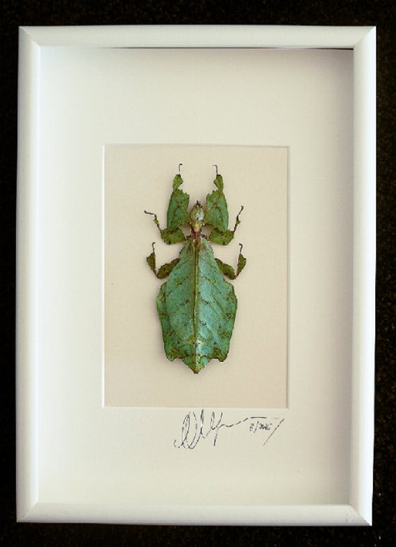 Artframe with real insects : Topquality display with phyllium giganteum Female, the largest walking leaf in the world , FREE SHIPPING