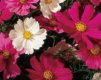 Cosmos-Sensation Mix-flower seeds Hardy annual Single daisy shaped flowers Blooms in white and pink