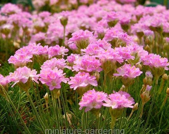Armeria juniperfolia, Thrift for Miniature Garden, Fairy Garden