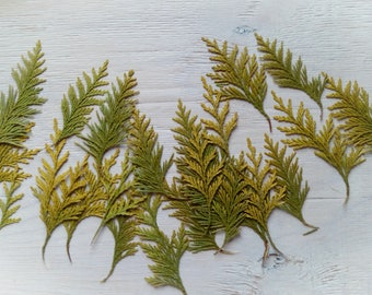 Pressed thuja leaves, dried evergreen conifer tree leaves for craft