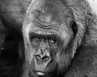 Gorilla's Gaze 8x10 DIGITAL DOWNLOAD