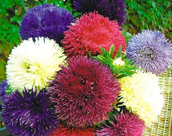 Aster Flower Seeds Fiction Chinesis from Ukraine#979