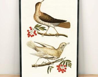 Thrush bird drawing art print poster