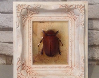 Beetle in ornate frame entomology taxidermy bugs - free postage to UK