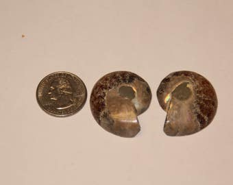 Fossil matching ammonite halves baek