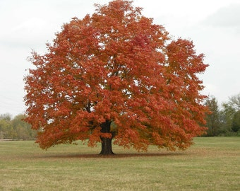 Red Maple Tree, Acer Rubrum, 2 Gallon Potted Plant, Healthy Plant, Strong Roots, Cold Hardy, Beautiful Colors, Shade Tree, Ornamental Tree