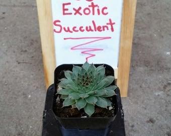 """2"""" Pot Sempervivum Calcareum Hen's n' Chicks / Live Forever - Exotic Succulent Plant"""