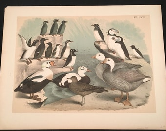 Guillemots, Auks, and Puffins - Plate CVIII, Original Color Lithograph by Jasper, 1881 Edition of Studer's Birds of North America