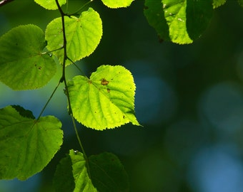 10 to 25 seeds of Tilia cordata, lime tree, small-leaved linden, tree symbolizing love, fertility and freedom ...
