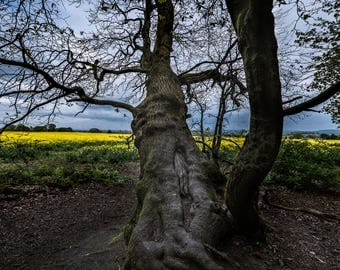 Treescape, Yellow Fields, Beauty, Fine Art Print, Landscape, Sky, Fine Art Photography, Home or Office Nature Outdoors, View, Clouds, Decor