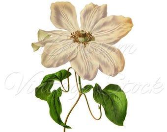 White Flower Botany Print, Flower Clipart, PNG White Flower, Botanical Vintage Illustration for Print, Digital Artwork INSTANT DOWNLOAD 2227