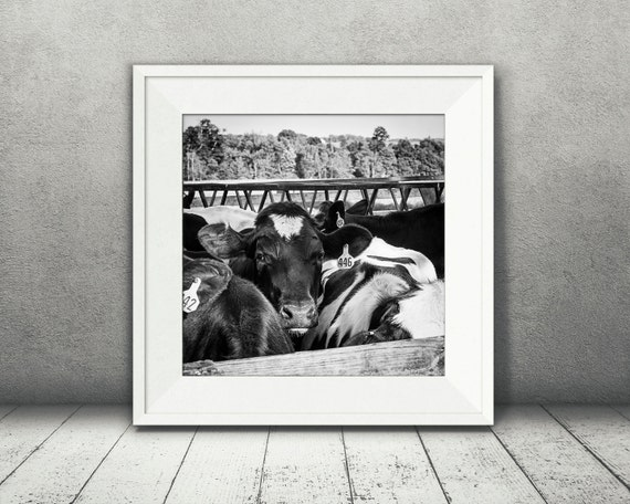 Cow Photograph - Fine Art Print - Black & White Photo - Wall Decor - Cow Wall Art - Farm House Decor - Pictures of Cows - House Warming Gift
