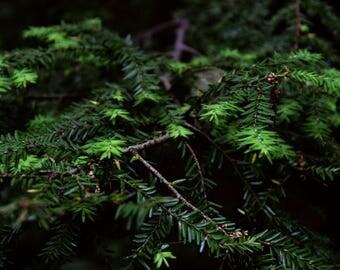 Macro Shot of Pine Tree Print