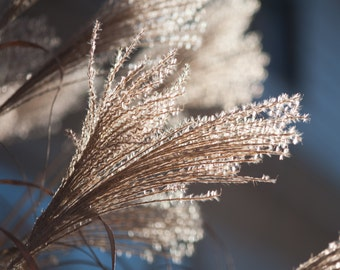 Sunlight,Backlit Grass, Macro, photography, canvas, pom pass grass