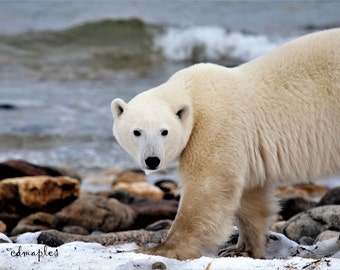 Polar Bear Photography, Arctic Wildlife, Photo Print, 4x6, 5x7, 8x10, Snow Bear Photo,  King of Arctic, Polar Bear