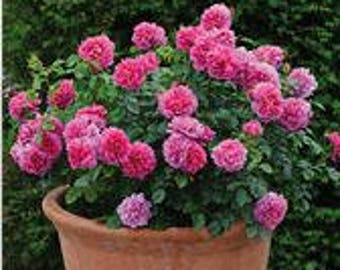 Pack of  50 fresh Seeds Princess Anne Bonsai Dark Pink Double Rose with Fragrant Flower