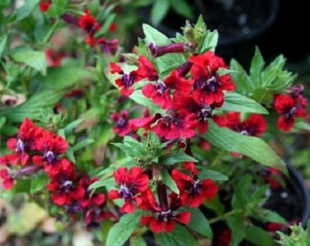 15+ Cuphea Scarlet Red Cigar Plant / Perennial Flower Seeds