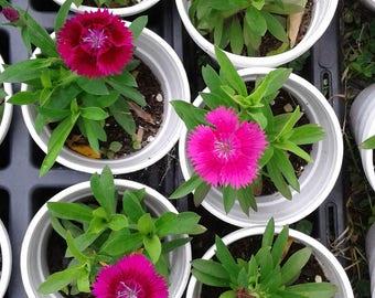 Violet dianthus