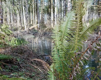 Woods, Pond, Ferns, Reflection, Fine Art Photography, Home Decor, Wall Art, Canvas Gallery Wrap