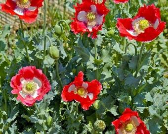 SALE Papaver somniferum Danish Flag Red Poppy Flower 500+ Seeds #1172