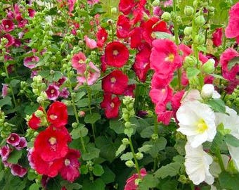 SALE Alcea rosea Hollyhock Giant Flower Mix 50 Seeds Perennial Attracts Humingbirds #1165