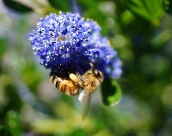 Honey bee, Bee, Honey bee photo, Bee photography, Honey bee art, Bee photo, Honey bee print, Honeybee, Insect photography, Honey bee decor