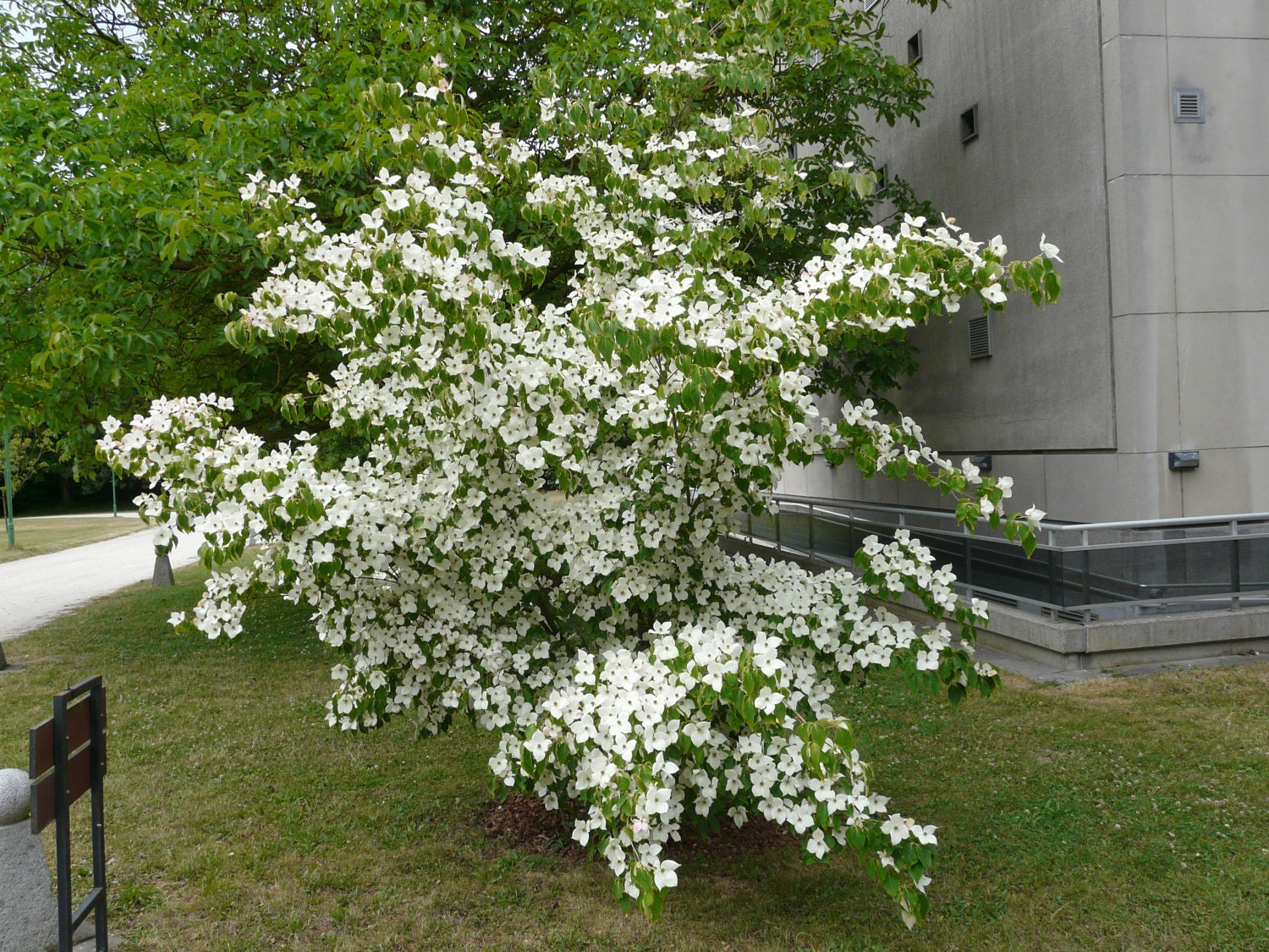 milky way flowering dogwood cornus kousa chinensis seeds. Black Bedroom Furniture Sets. Home Design Ideas