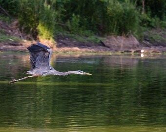 Great Blue Heron // 11in x 16in Print