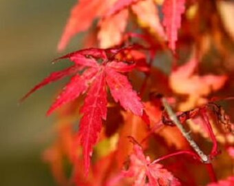 10 JAPANESE MAPLE TREE Ornamental Acer Palmatum Red & Orange Fall Color Seeds