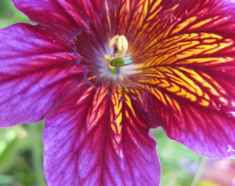 25+  SALPIGLOSSIS  ROYALE  PURPLE  Bi-color /  Hot Humid Conditions Exotic  Painted Tongue Flower Seeds