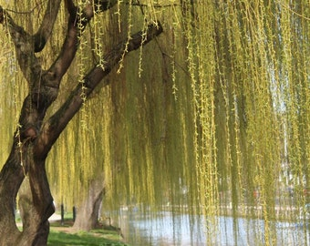 Willow Tree Print