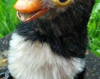 OOAK Golden Snaffle chick