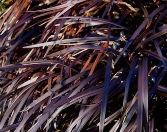 Black Mondo grass Ophiopogon hardy perennial grass