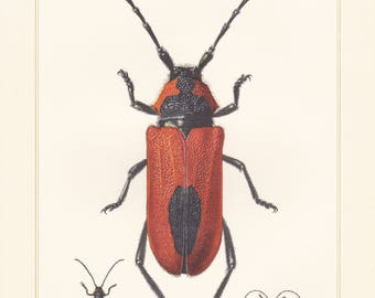 Vintage lithograph of cerambycidae, longhorn beetles, purpuricenus kaehleri from 1955