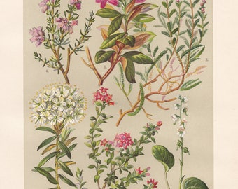 Vintage lithograph of alpenrose, alpine azalea, round-leaved wintergreen, marsh labrador tea, common heather, cross-leaved heath from 1911
