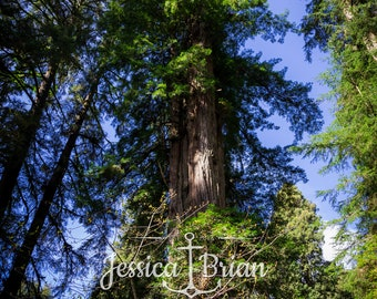 Photographic Print Redwood Trees Forest Nature Wall Art