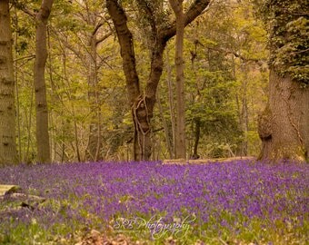 Bluebell Field In The Forest Photographic Print