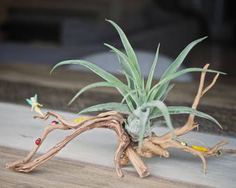 Original Air Plant Decoration, with Tillandsia Streptophylla (Queen of the Air Plants)