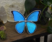 Real Butterfly Display. Blue Morpho Butterfly Display. Tabletop Display. Boho Style Decor. Blue Morpho Butterfly Shadowbox.